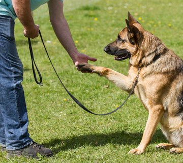 obedience-dog