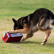 Explosive Detection Dogs